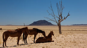 Feral horses Royalty Free Stock Image