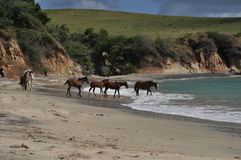 Feral Horses on the Beach. Herd of feral horses on Black Beach in Vieques royalty free stock photography