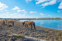 Feral horses in a field along a frozen lake in winter. Feral horses in a field along a frozen pond in sunlight in winter Royalty Free Stock Photos