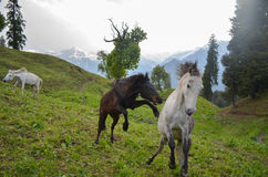 Feral Horses galloping and playing in a meadow in India. Feral Horses galloping and playing in a meadow with snow mountains in the background.Image captured in Stock Photo