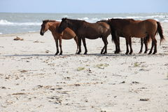 Feral Horses at the Sea Royalty Free Stock Photo