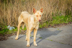 Feral hungry stray dog Stock Image
