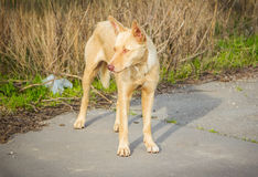 Feral hungry stray dog Stock Photography