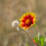 Feral Indian blanket flower Royalty Free Stock Image