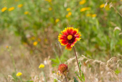Feral Indian blanket flower Stock Photos