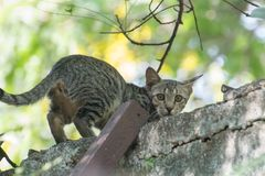 Feral Indian Cat. Staring at the camera from the roof of house stock photography