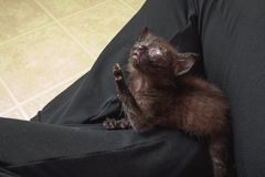 Feral Kitten Begging With Eye Infection royalty-vrije stock fotografie