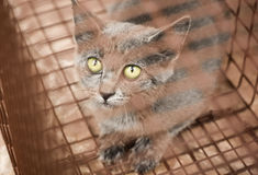 Feral Kitten Caught in Humane Trap. A gray feral kitten is caught in a humane trap. She will be fixed and socialized and then a permanent home will be found for royalty free stock images