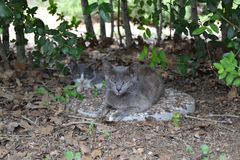 Feral mother cat and her baby. A feral mother cat and her baby rest underneath some shrubs royalty free stock image