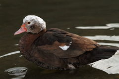 Feral muscovy duck profile Royalty Free Stock Photos