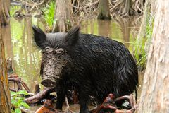 Feral Pig. A cute adorable wild boar gets a muddy face in the bayou swamps of stock images