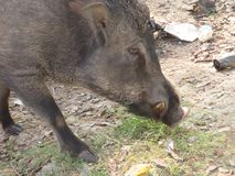 Feral Pig. The feral pig from Latin fera, `a wild beast` is a pig Sus scrofa living in the wild, but which has descended from escaped domesticated individuals in royalty free stock photography