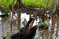 Feral Pig. A wild boar opens his mouth and takes a swim in the mudd in the bayou swamp of Louisiana stock photography