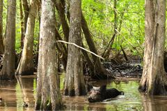 Feral pig. A wild boar takes a swim in the mudd in the bayou swamp of royalty free stock photos