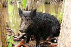 Feral Pig. A wild boar takes a swim in the mudd in the bayou swamp of Louisiana Stock Photography