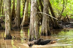 Feral Pig. A wild boar takes a swim in the mudd in the bayou swamp of Louisiana stock images