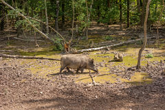 Feral pig, wild hog boar Royalty Free Stock Photo