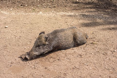 Feral pig, wild hog boar Stock Photography