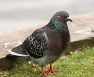 Feral Pigeon. Portrait of a male Feral Pigeon Stock Photo