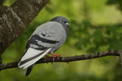 Feral pigeon. In a tree Royalty Free Stock Photos