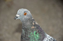 The feral pigeon. Otherwise known as the town pigeon, familiar in many towns around the world is descended from the rock dove Royalty Free Stock Photos