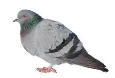 Feral Pigeon Fotografia de Stock Royalty Free