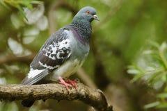 Feral Pigeon Imagem de Stock Royalty Free