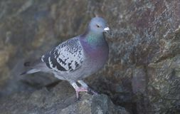 Feral pigeon. An Australian Rock Dove, Columba Livia, also known as a feral pigeon.   Introduced to Australia Stock Photo