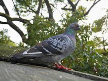 A Feral pigeon bird on wooden roof with trees on background. Stock Photos