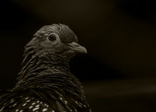 Feral Pigeon. A captive feral pigeon looking at camera Stock Images