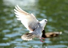 Feral Pigeon Royalty Free Stock Images
