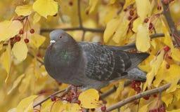 Feral Pigeon, Columba livia Royalty Free Stock Photo