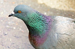 Feral pigeon Royalty Free Stock Photo