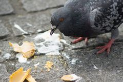 Feral pigeon / Columba livia domestica in London, England, eating an ice cream that somebody has dropped on the ground. stock images
