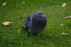 Feral Pigeon Columba livia domestica portrait standing on grass in Autumn with fallen brown leaves royalty free stock photo
