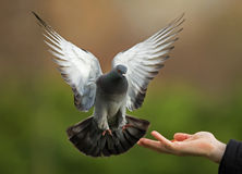 Feral pigeon (Columba livia). Landing on a hand Royalty Free Stock Image