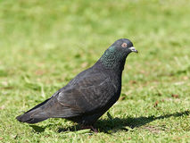 Feral pigeon (Columba livia) Royalty Free Stock Photos