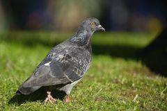 Feral pigeon (Columba livia) Royalty Free Stock Photography