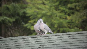 Feral pigeon or dove / Columba livia mating. Feral pigeon / Columba livia, also called city dove, city pigeon, or street pigeon copulating /pairing on a Roof of stock footage