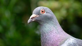 Feral Pigeon feeding in urbasn house garden. Feral Pigeon feeding in urban house garden 0n bird feeding station stock video footage