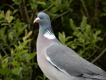 Feral Pigeon. A Feral pigeon stood in front of some greenery Royalty Free Stock Photo