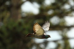 Feral pigeon in flight Stock Photography