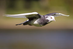 Feral Pigeon Stock Image