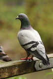 Feral pigeon on gate Stock Image