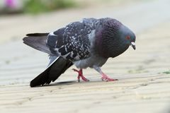 Feral pigeon in mating season Stock Photo