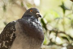 Feral Pigeon. Out in nature during the daytime royalty free stock photography