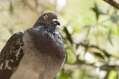 Feral Pigeon. Out in nature during the daytime royalty free stock image