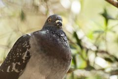 Feral Pigeon. Out in nature during the daytime royalty free stock photos