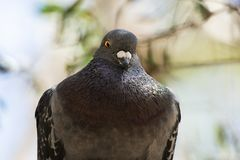 Feral Pigeon. Out in nature during the daytime stock photos