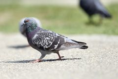 Feral pigeon on the park Royalty Free Stock Photography